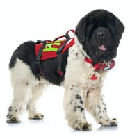 rescue newfoundland dog