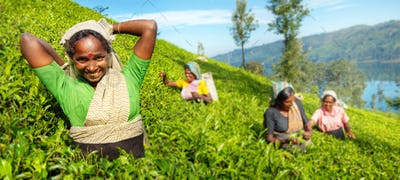 A Group Of Happy Tea Pickers Harvesting Concept