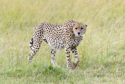 Cheetah. Africa, Kenya