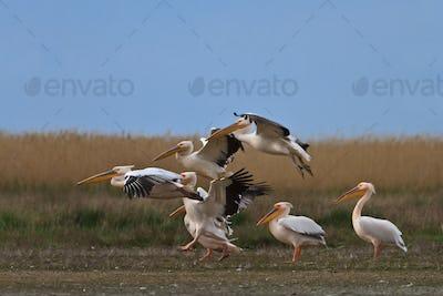 white pelican (pelecanus onocrotalus