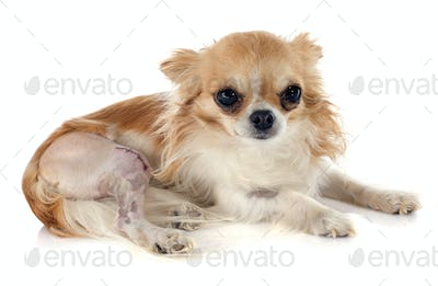 chihuahua and injury