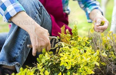 Senior woman pruning green bush