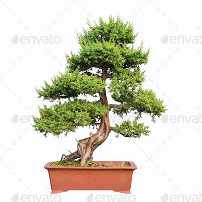 bonsai tree of shimpaku juniper