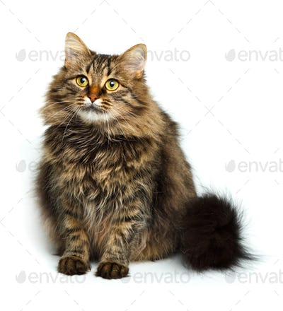 Cute fluffy cat isolated on white