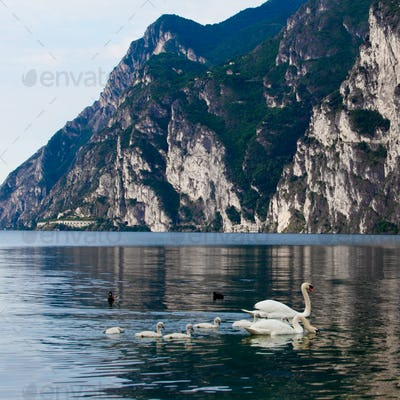 swan swimming with young cygnets. Mute Swan
