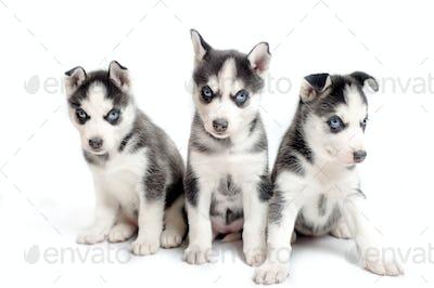 Three playful siberian husky puppies