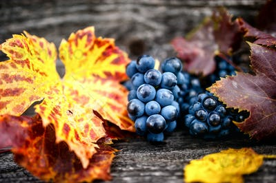 Organic grapes with leaves as static background, still life, during autumn harvesting