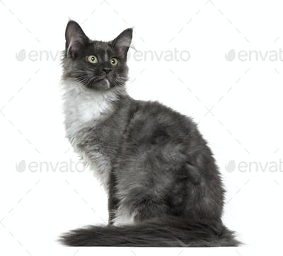 Maine Coon kitten (4 months old) sitting in front of a white background
