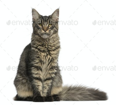 Maine Coon sitting in front of a white background