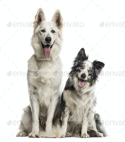 Swiss shepherd dog and border collie in front of a white background