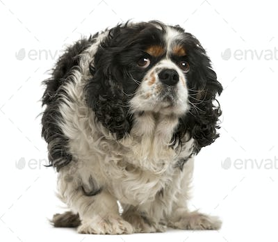 Old Cavalier King Charles in front of white background