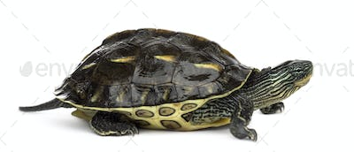 Chinese stripe-necked turtle (1 year old), Ocadia sinensis, in front of a white background