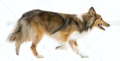 Shetland Sheepdog running in front of a white background