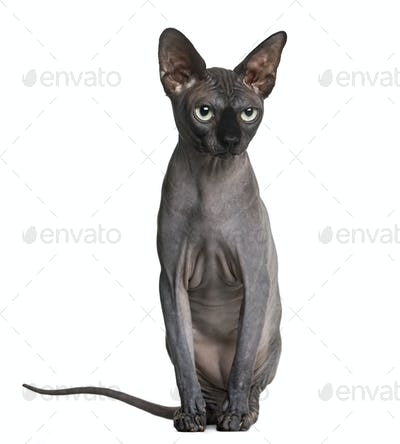 Sphynx (2 years old) in front of a white background