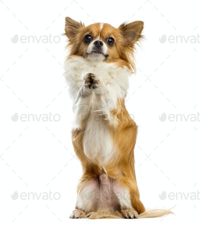 Chihuahua begging in front of a white background