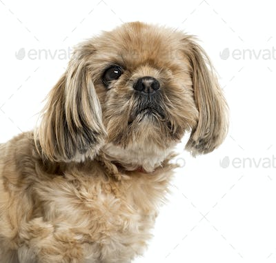One-eyed Shih Tzu in front of white background
