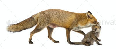 Mother fox carrying her cub (7 weeks old) in front of a white background