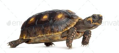 Red-footed tortoises (1,5 years old), Chelonoidis carbonaria, in front of a white background