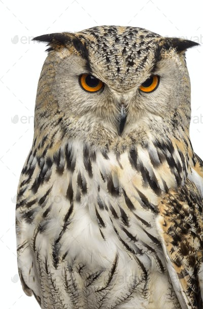 Close-up of a Siberian Eagle Owl - Bubo bubo (3 years old) in front of a white background