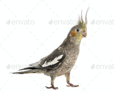 Cockatiel in front of a white background
