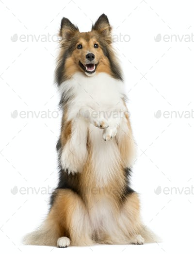 Shetland Sheepdog on hind legs in front of a white background