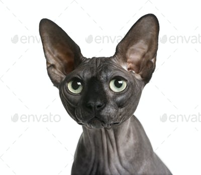 Close-up of a Sphynx (2 years old) in front of a white background