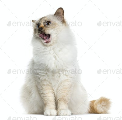 Birman (4 years old) sitting in front of a white background