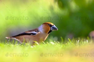 Hawfinch in a field of grass