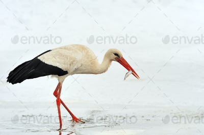 Stork at the winter park