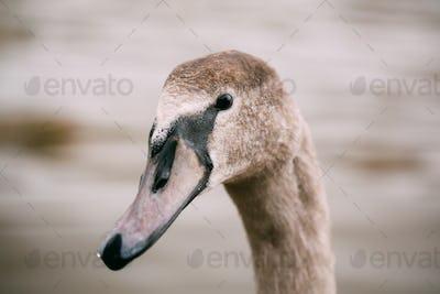 Close up of wild goose bird.