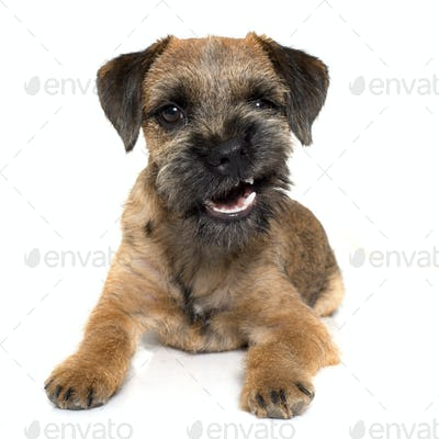 growling border terrier