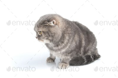 Scottish Fold cat breed looks down.