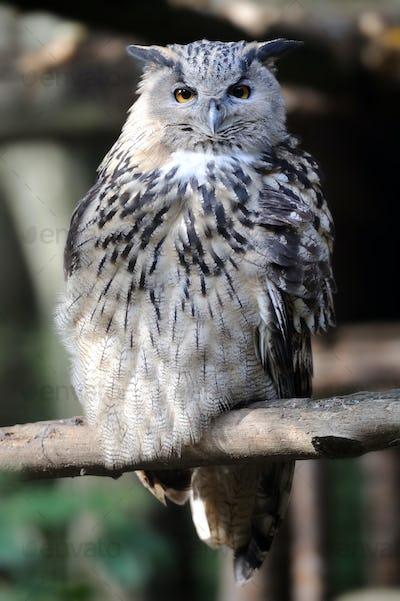 Wild young owl portrait