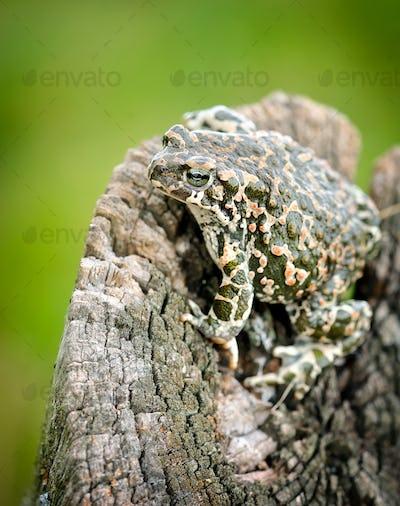 Green frog (Bufo viridis)