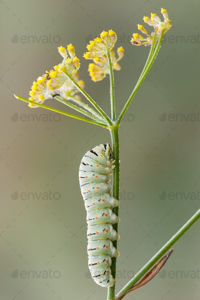 Caterpillar of common yellow swallowtail butterfly