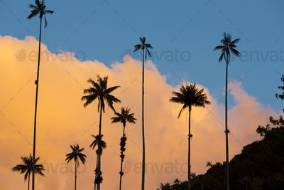 Sunset on the Cocora valley with giant wax palms  near Salento,
