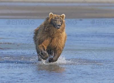 Grizzly Running after its Prey