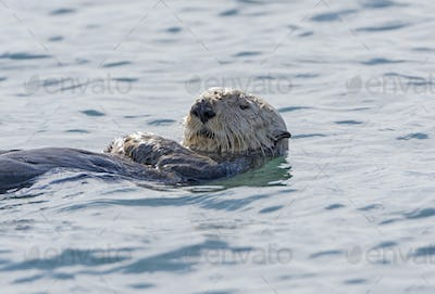 Sea Otter Close-up