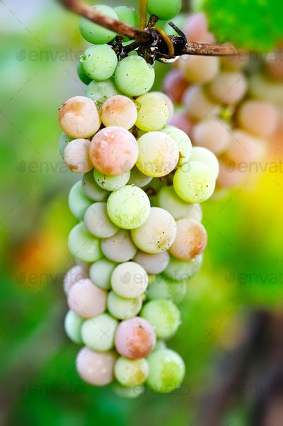 Bunch of pink grapes on vine