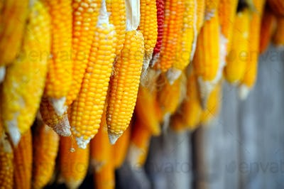 Dried corn cobs hanging