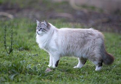 birman cat in nature