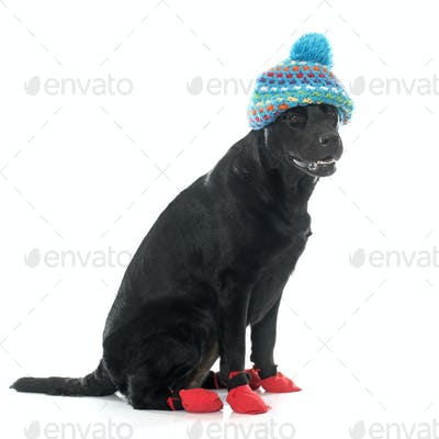 female black labrador retriever and socks