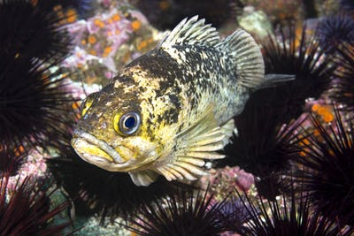 Copper rockfish resting on sea urchins