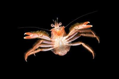Small tuna crab at night