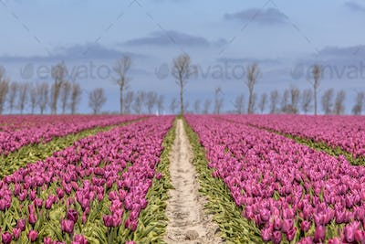 Endless field of purple tulips