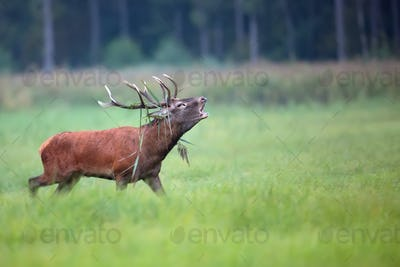 Red deer bellowing on the run