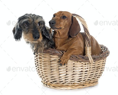 two young dachshunds in basket