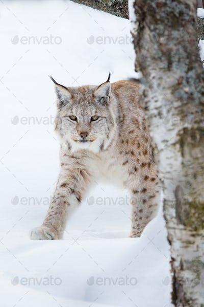 European lynx sneaking in the snow