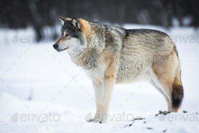 One Wolf in the Snow