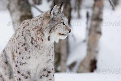 Proud lynx in forest